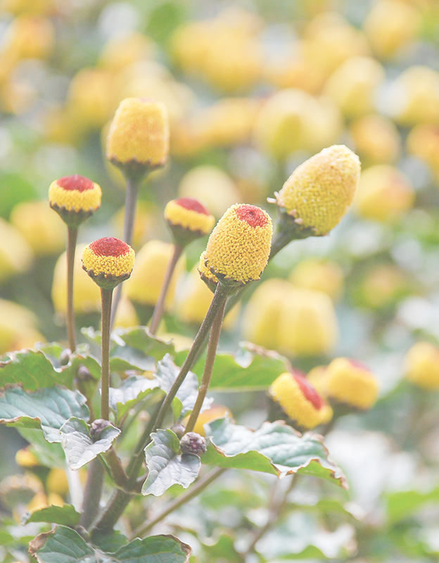 Spilanthes acmella (acmellia) extract <br> - gives a long-lasting smoothing effect, stimulates fibroblast proliferation, which in turn improves skin density and firmness. It helps to reduce wrinkles and symptoms of tired, aging skin.
