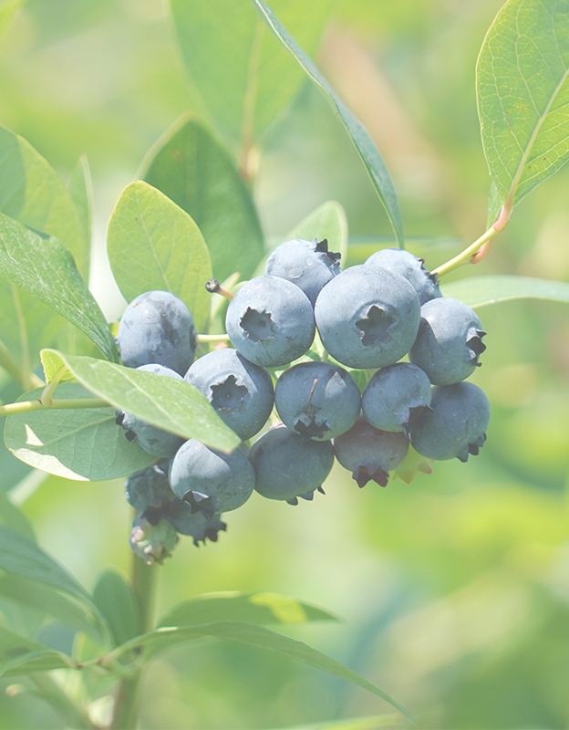 Vaccinium Myrtillus (billberry) extract  <br> - improves microcirculation, supporting the functioning of blood vessels and reducing the visibility of spider veins.