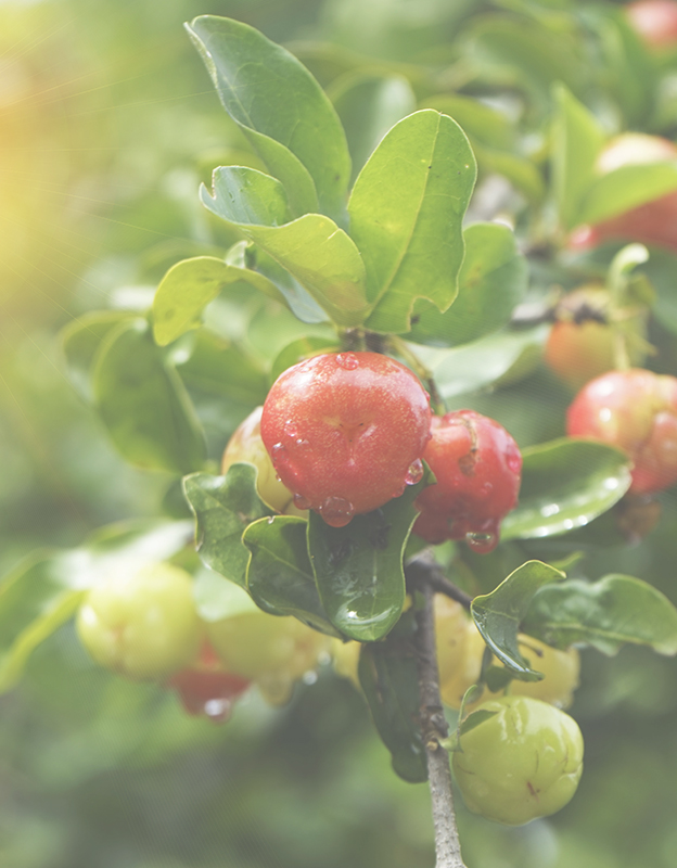 Acerola extract <br> - is a rich source of natural vitamin C, which is known for its excellent sealing and vessel strengthening properties. It neutralizes free radicals and stimulates collagen synthesis in the skin.