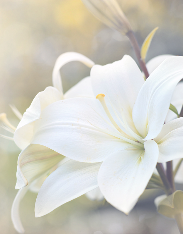 White lily extract <br> - has filmogenic properties, thus creating a protective layer on the surface of the skin, which retains water in the epidermis, providing optimal hydration and elasticity. It effectively smoothes the skin, leaving it silky soft.