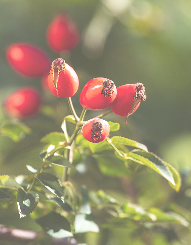Rosa Canina (dog rose) extract <br> - is a rich source of vitamin C, thanks to which it perfectly seals and strengthens blood vessels. It supports collagen synthesis, delaying skin aging.