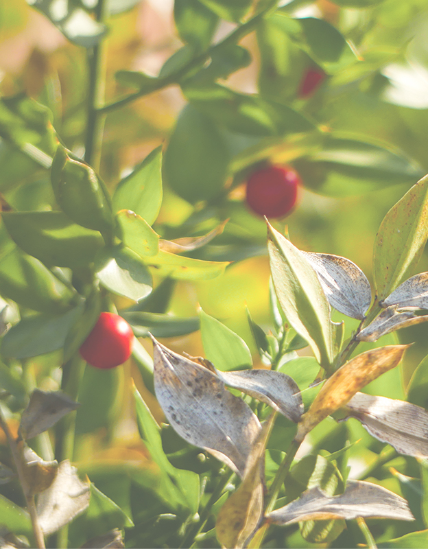 Ruscus aculeatus extract <br> (butcher's-broom) - <br>is particularly valued in treatment of skin prone to redness due to saponins, including ruskogenin, and flavonoids: rutin and hesperidin. These compounds, occurring together, show enhanced (synergistic) effects such as strengthened vessels, stimulated surface microcirculation, reduced permeability of vessel walls, and soothed and alleviated irritations.
