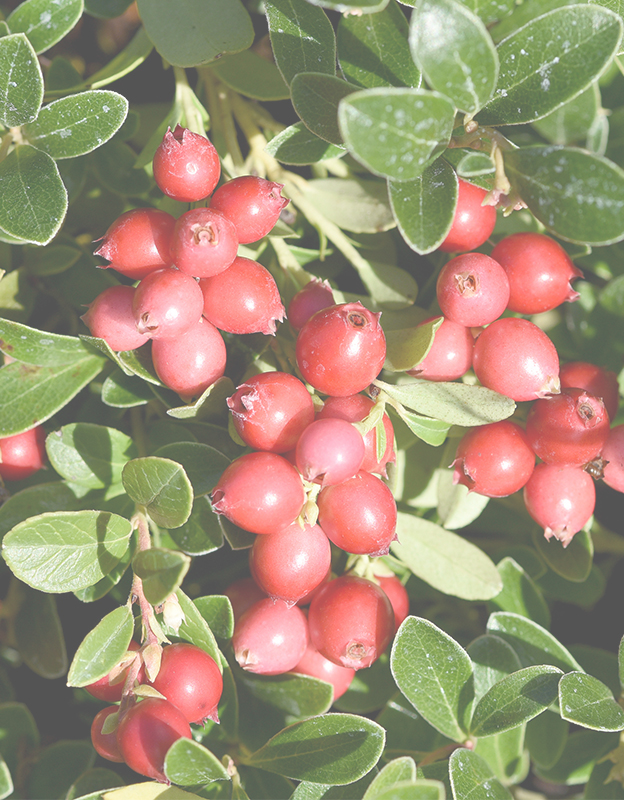 Vaccinium macrocarpon (American cranberry) extract <br> - is an exceptionally rich source of compounds with beneficial effects in the treatment of couperouse skin. The anthocyanosides contained in the extract strengthen vessel walls and reduce capillary permeability. Phenolic compounds, vitamins C, E and niacin neutralize free radicals while alpha-hydroxy acids stimulate cellular regeneration.
